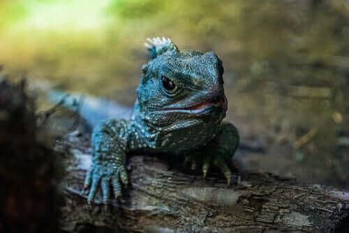 Reptilet broøgle er en utrydningstruet art, men med lav risiko for det, heldigvis.