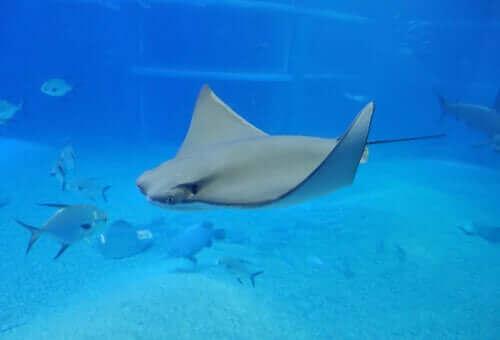 Interessante arter under vann: Elektrisk fisk