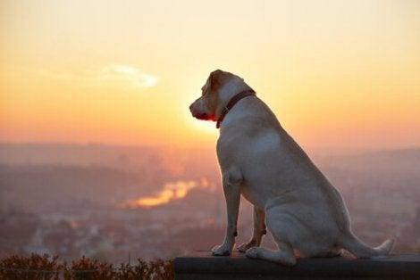 En hund som ser fra toppen av et fjell