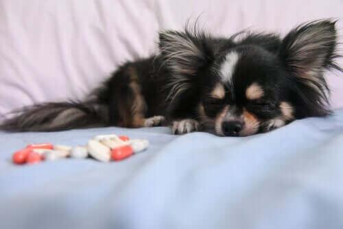 Avliving av kjæledyr: Verdens vanskeligste avgjørelse