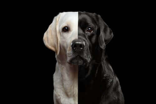 Kloning av hunder - Er det lovlig?