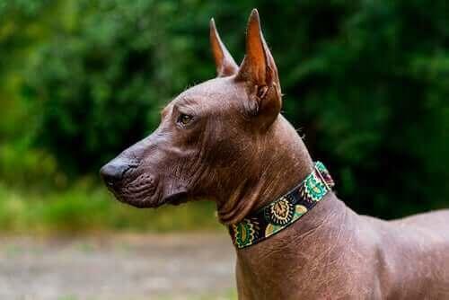 Meksikansk nakenhund: Kjent i Mexico som xoloitzcuintle