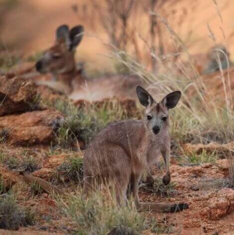 Det australske dyret wallaroo: Kjennetegn og bevaring