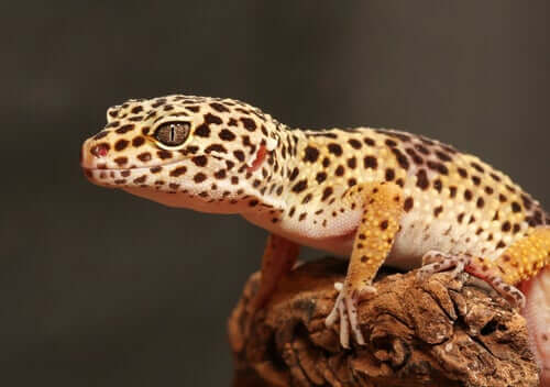Å avle og holde leopardgekkoer