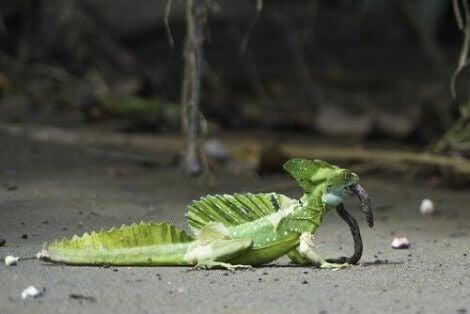 En grønn basilisk som spiser en orm