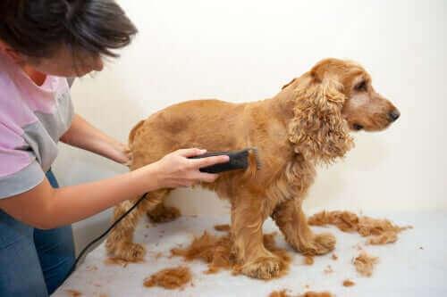 En spaniel hos hundefrisør