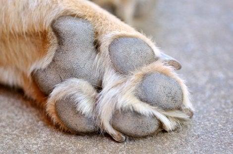 Nærbilde av labbene til en hund.