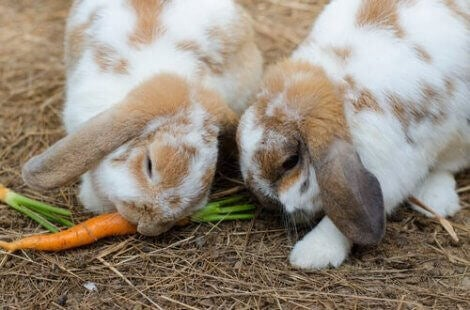 Noen kaniner spiser gulrøtter
