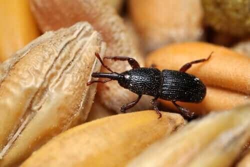 Kornsnutebiller: En pest og en plage for kjøkkenskapene