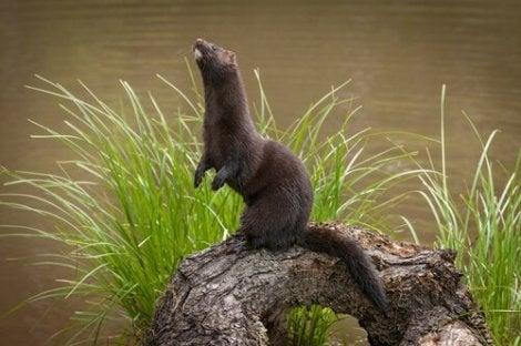 En amerikansk mink som står på en tømmerstokk