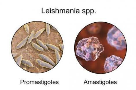 Forskjellen mellom promastigoter og amastigoter