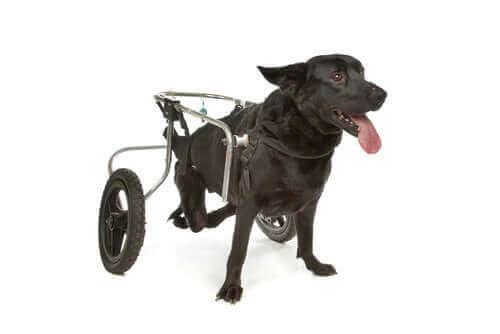 En hund med rullestol