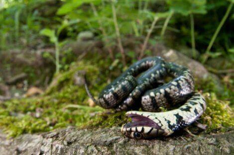 En slange som spiller død