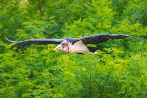 En flygende marabustork
