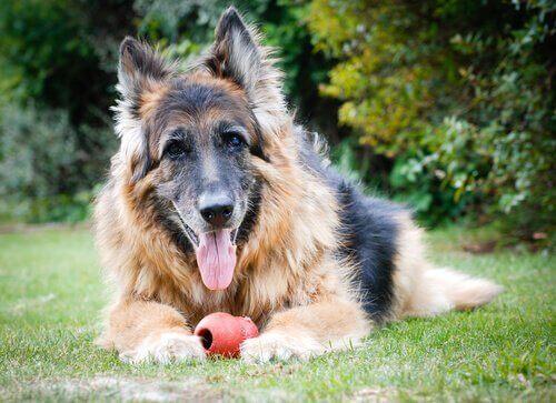 En gammel hund som kan lide av hjernealdring hos hunder