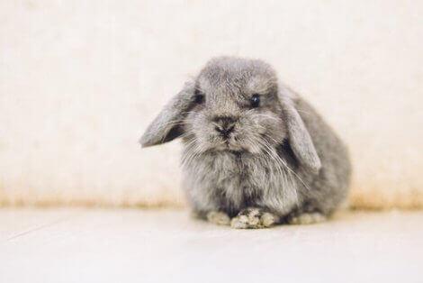 fransk vedder er en av de mest populære kaninrasene å ha som kjæledyr