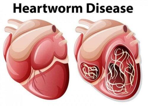 Illustrasjon av hjerteorm