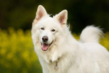 En glad hvit hund