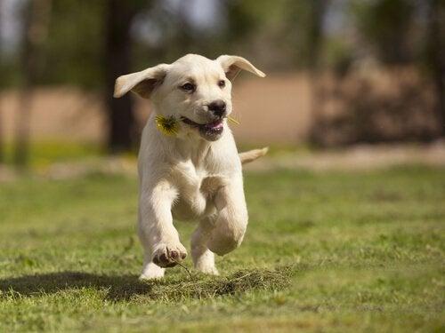 Hund som løper over plen med en blomst