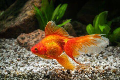 En gullfisk som svømmer i bunnen av akvariet