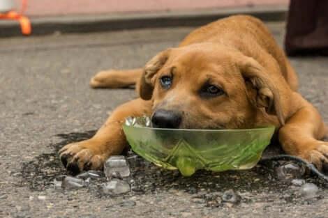 Er tannpåvirkning en av bivirkningene av å gi is til hunder