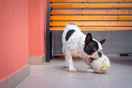 Terapihund som leker med en ball