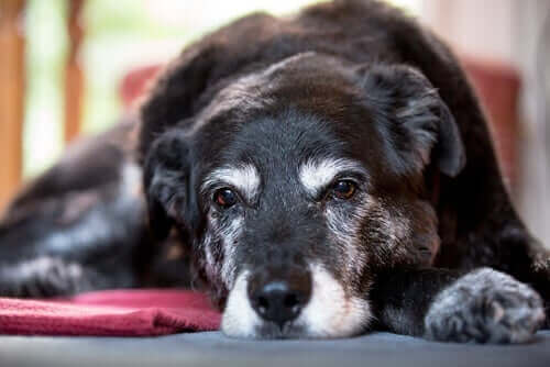 Årsakene til muskelatrofi hos hunder