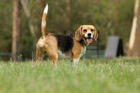 En hund som står på en plen