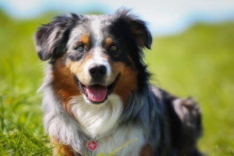 En hund utendørs med to forskjellige farger på øynene