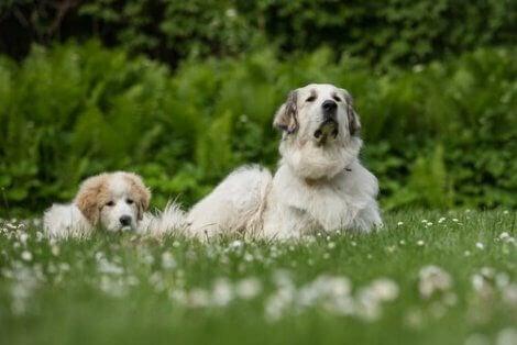En voksen hund og en valp som sitter sammen