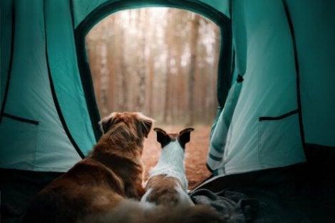 Et par hunder i et telt som ser ut