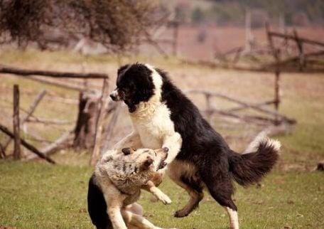 aggressive hunder