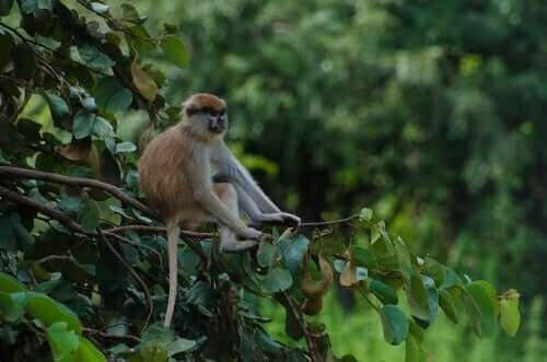 Primaten husarape har veldig lange armer.
