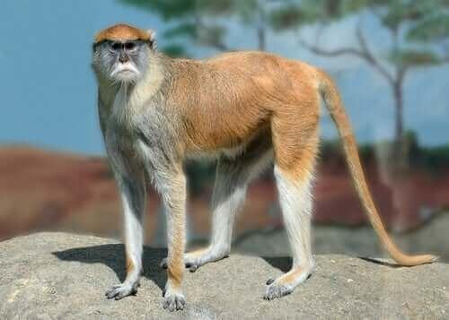 Primaten husarape har et merkverdig utseende og trekk.