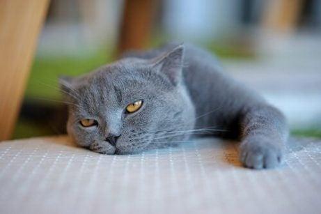 En lat katt