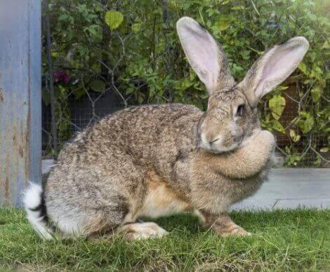 En av de største kaninrasene i verden