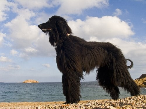 En svart hund som ser ut mot havet