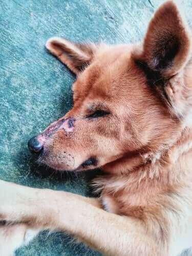 Hund med sår på snuten