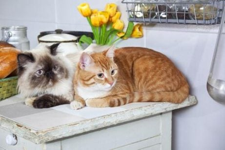 To katter på disken i en kattekafe
