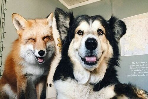 Juniper og Moose, en hund og rev som nå er venner
