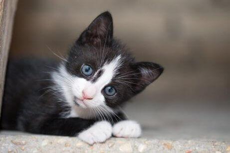 En kattunge som setter seg og stirrer
