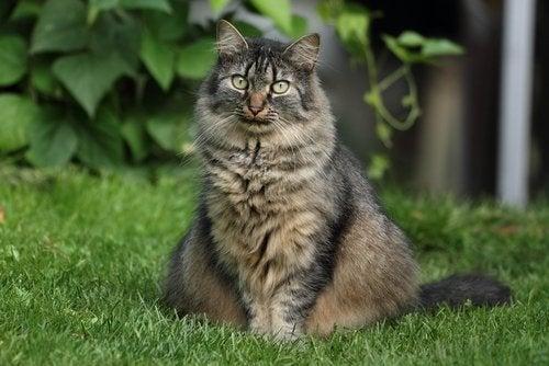 Grå langhåret katt sitter på gress
