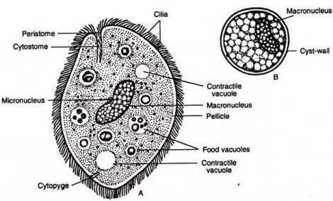 Dyr og parasitter: Forstå encellede parasitter