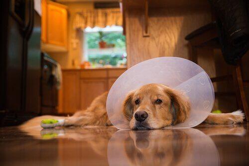 7 tips for å pleie hunden din etter en operasjon