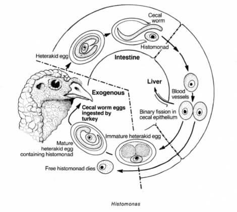 Histomonas i tamfugl
