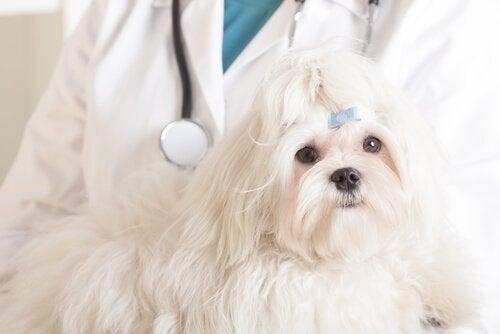 Cellegiftbehandling for hunder
