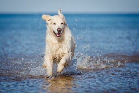 Hunder tygger ikke på grunn av instinkter som kommer fra ulv