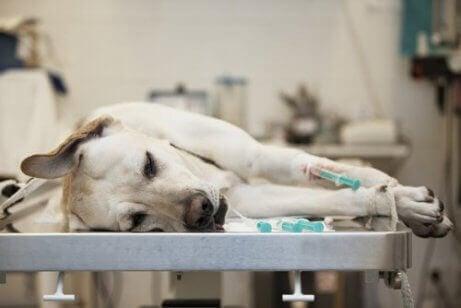 En hund som får cellegift