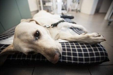 En syk hund på en seng