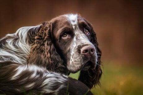 En hund som stirrer på kameraet